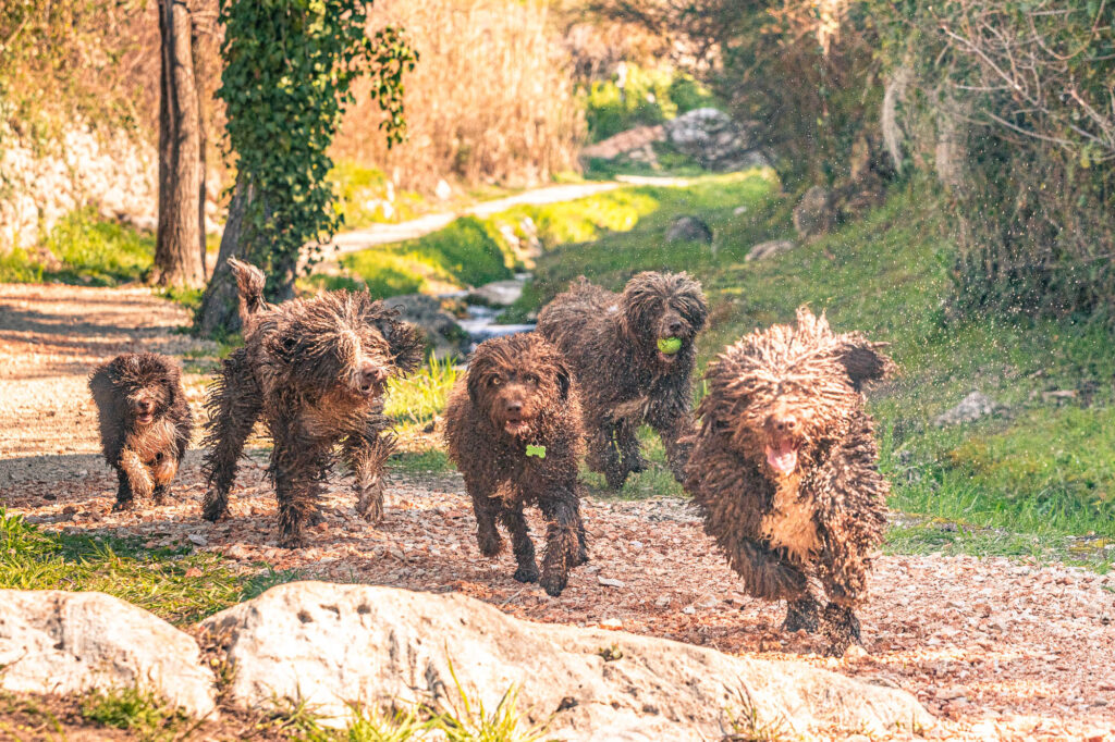 Spanish water dogs running