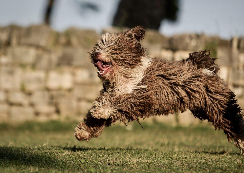 Spanish water dog powered by Monge