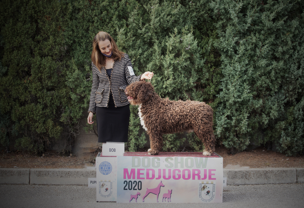 spanish water dog on the show