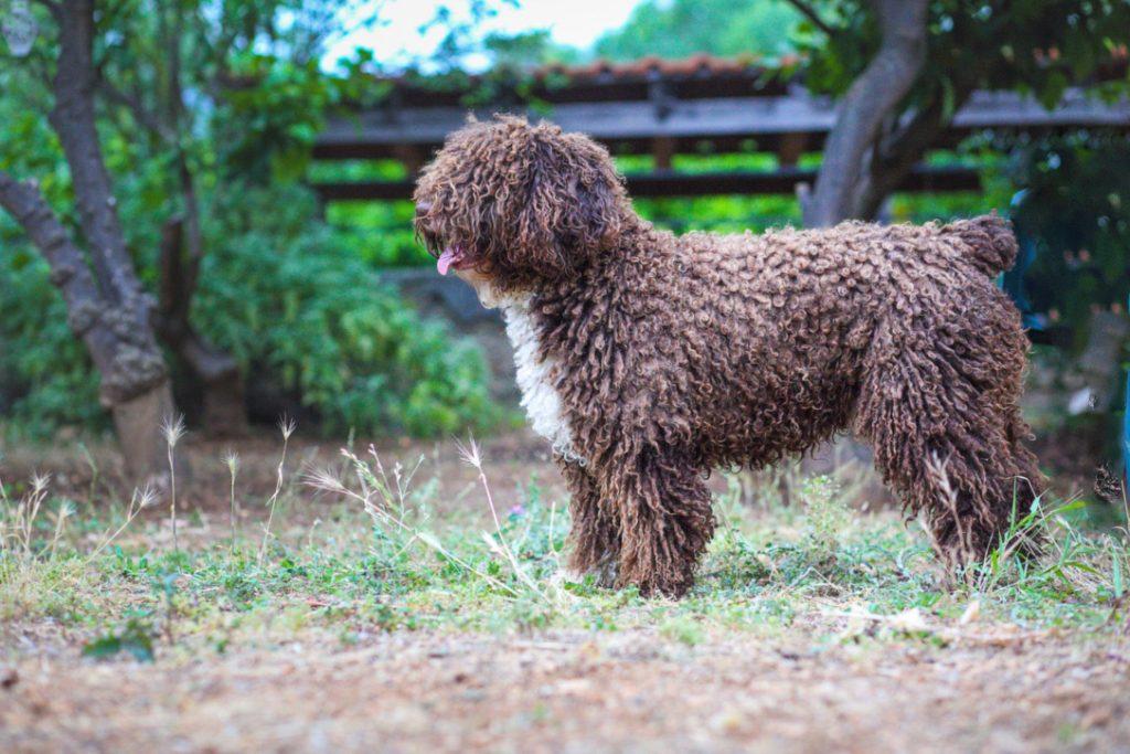 Rico spanish water dog