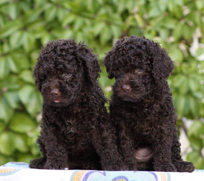 Canina Aqua spanish waterdogs litter H